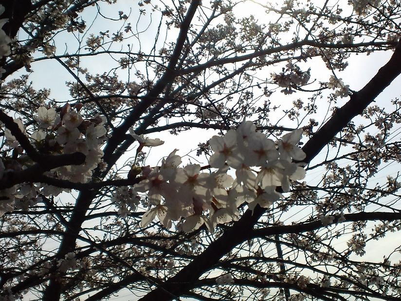 桜-2010-3