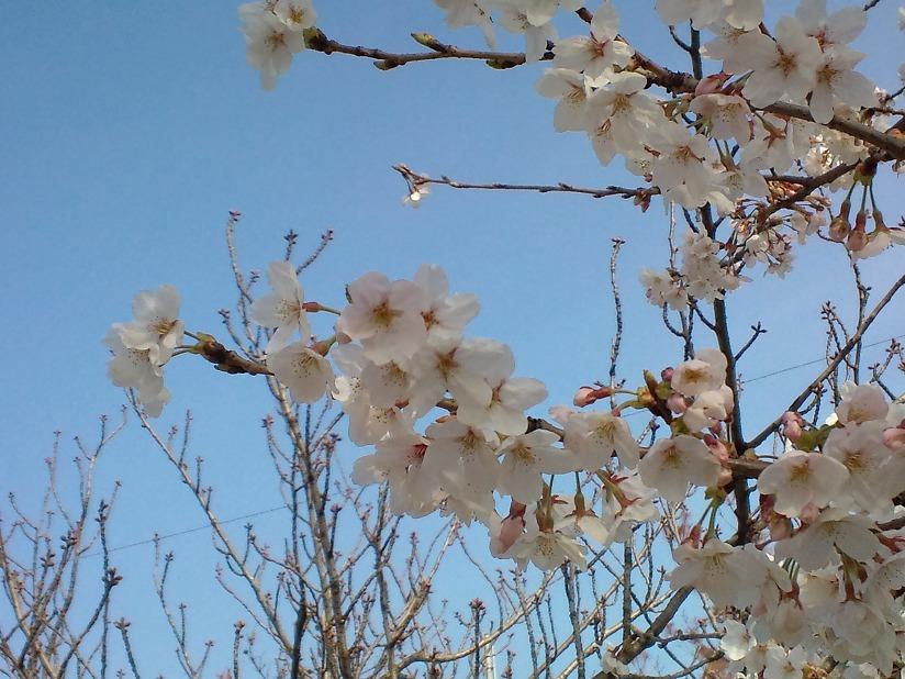 桜-2010-4