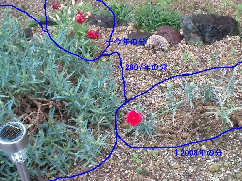 庭のカーネーション